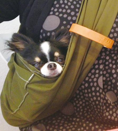 チワワに犬用スリングをお使い頂いています