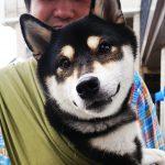 今日は柴犬祭り!?10kg以上の愛犬&パートナーさんにドッグスリングを試して頂きました