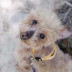 Vol.2 うちに保護犬ベッシュが仲間入り!!2ヶ月で毛が生えてきました |里親募集中